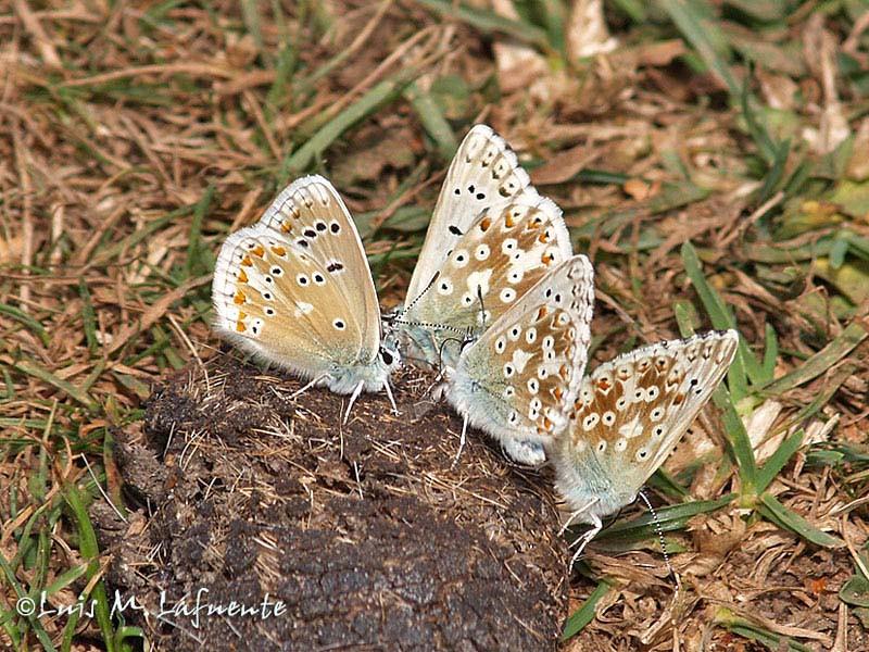 Polyommatus (Polyommatus) dorylas macho izquierda, Lysandra coridon asturiensis machos - tres de la derecha
