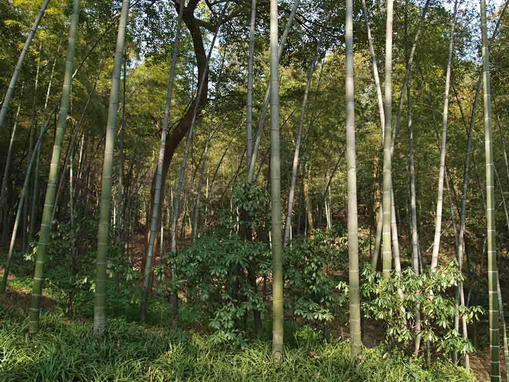 Bosque de bambues, Jardín Botánico de Hanzjou, Zhejiang