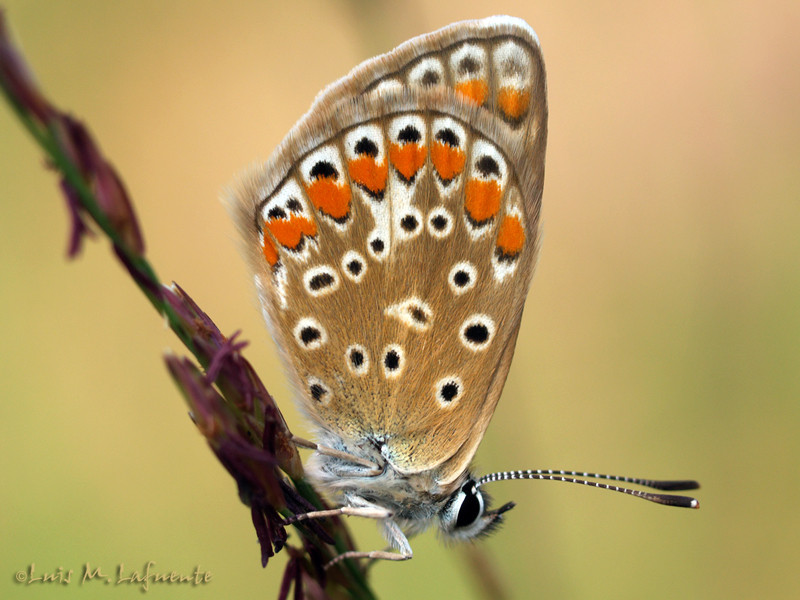 Lycaenidae, hembra de Polyommatus icarus