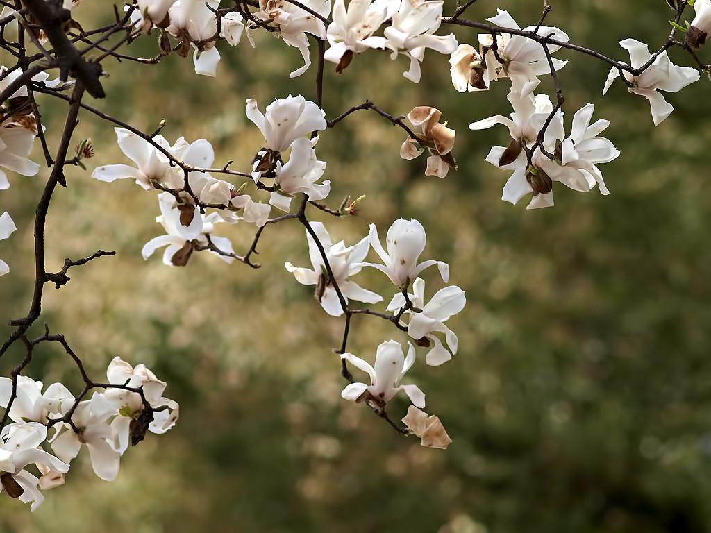 Flores de Magnolio