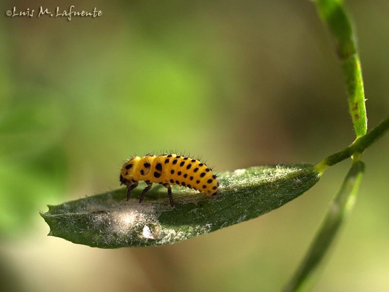 Oruga de coleoptero, de una Mariquita