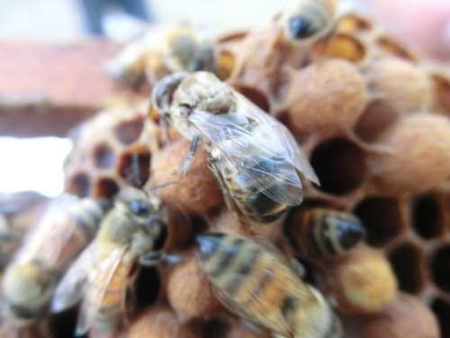 羽化したばかりのオスバチ。成熟して交尾が可能になるまでには、さら に14時間ほどかかる。