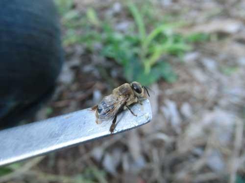 オスバチは英語で「Drone」といい、「怠け者」という意味がある。あ のマルチコプターの「ドローン」はハチが飛ぶときの音に由来するという説もある。