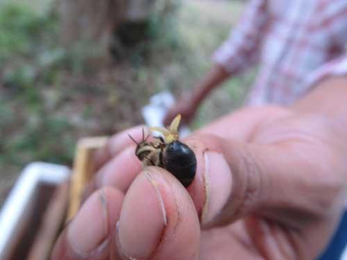 オスバチの生殖器。