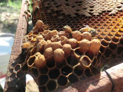 オスバチの巣房は働きバチより大きく、盛り上がっているので一目でわかる。