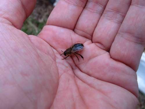 オスバチには針がないので、手のひらにのせても刺されない。