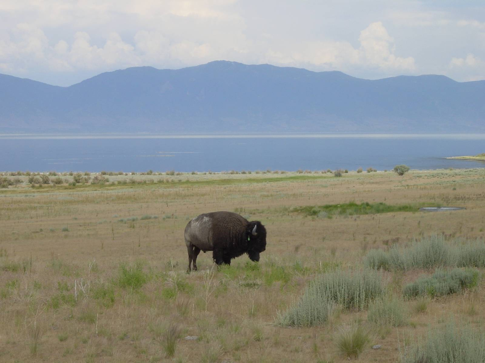 Büffel, Antelope Island, Great Salt Lake