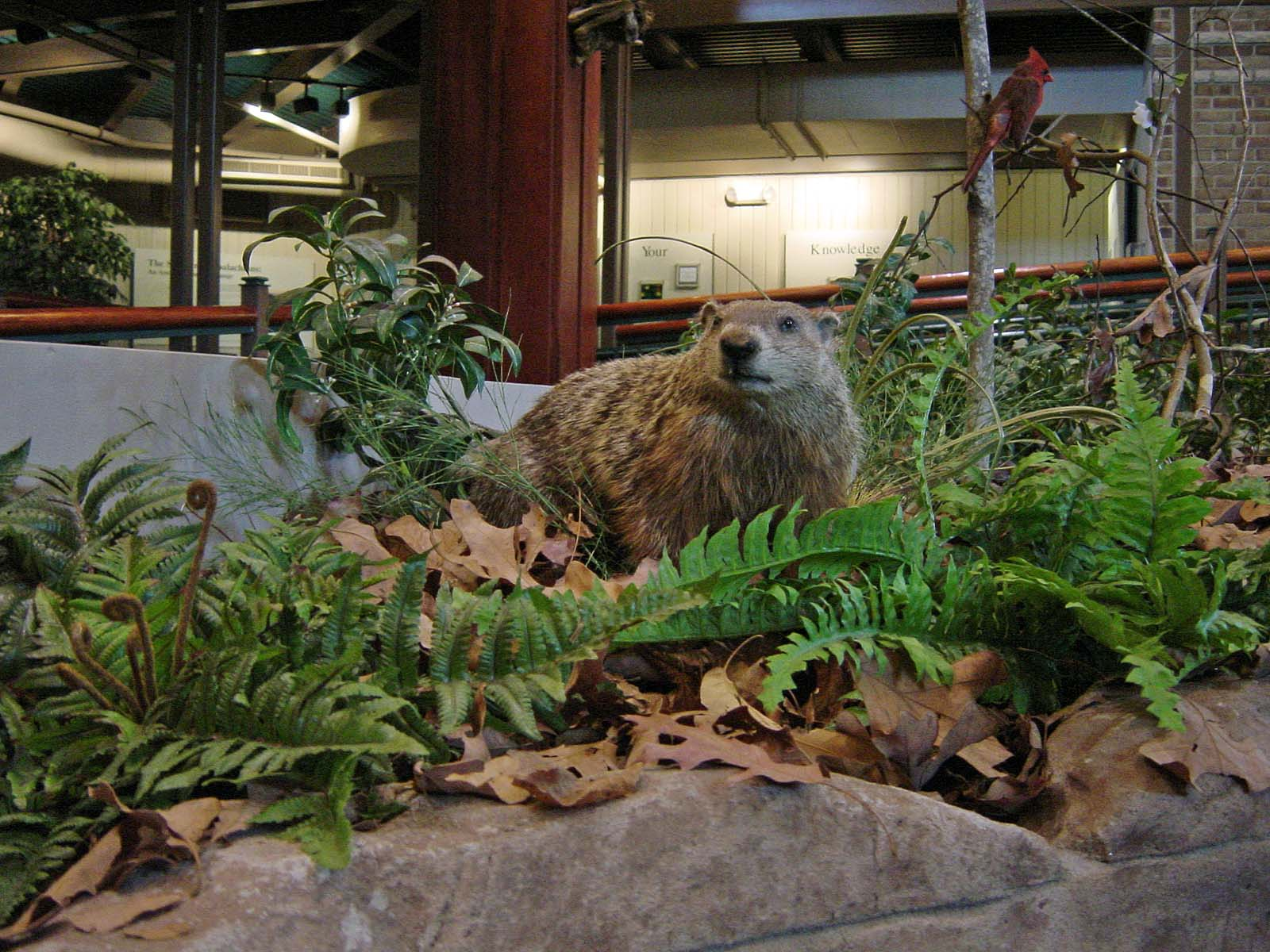 Groundhog - Waldmurmeltier