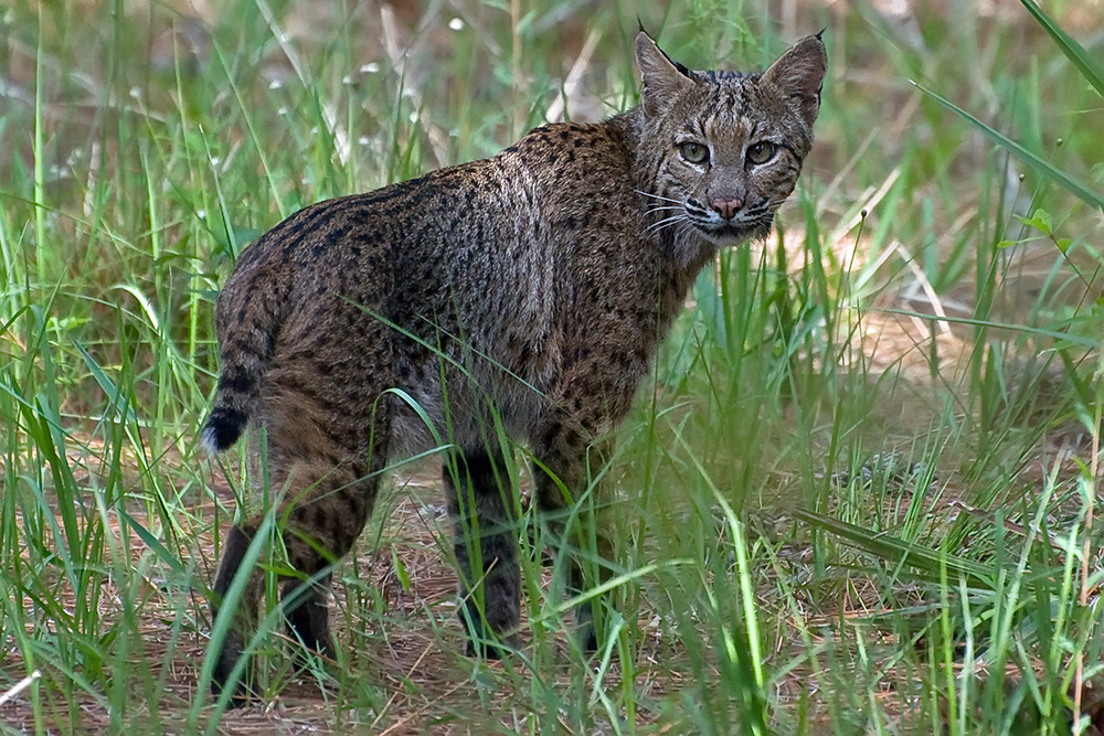Rotluchs - Bobcat, Chestnut Creek, Venice