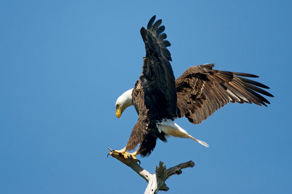 Weißkopfseeadler, Bayonne Preserve, Sarasota