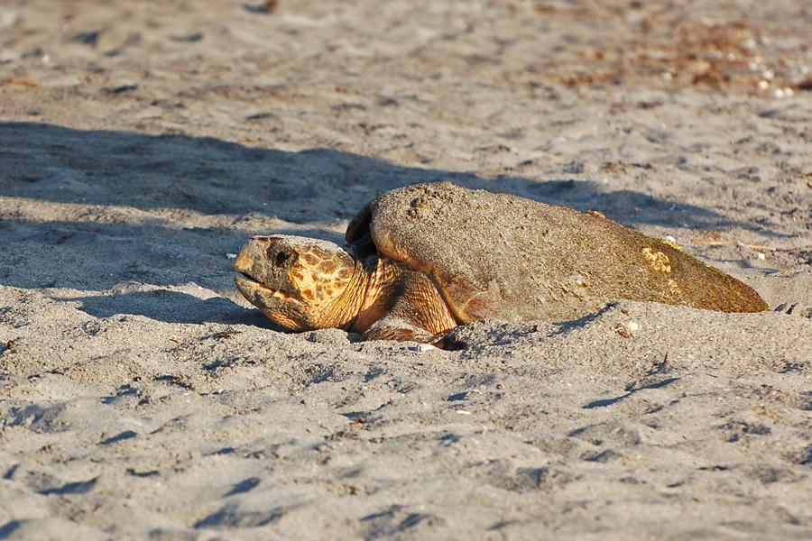 Unechte Karettschildkröte bei der Eiablage, Caspersen Beach, Venice