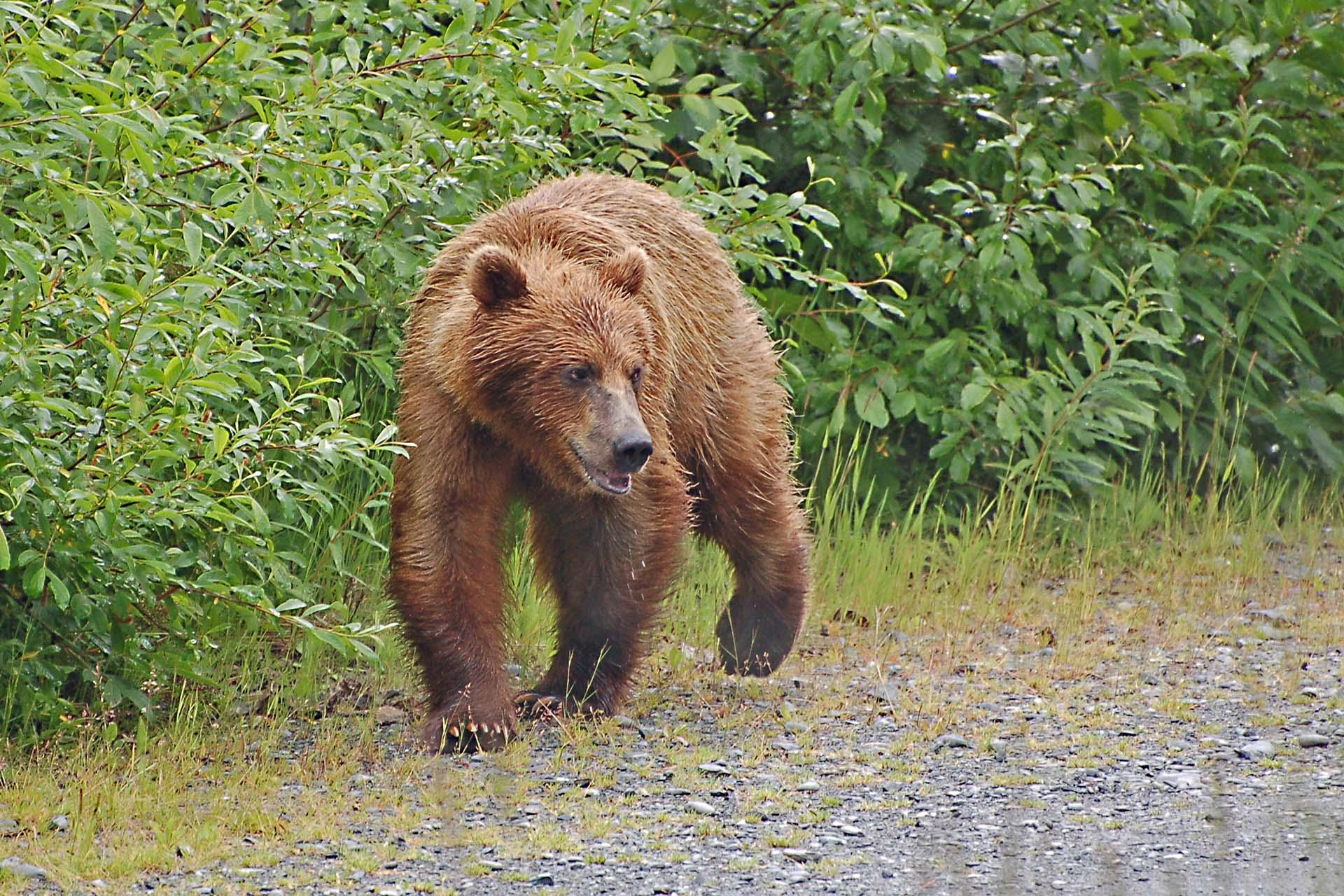 Braunbär/Grizzly, Alaska