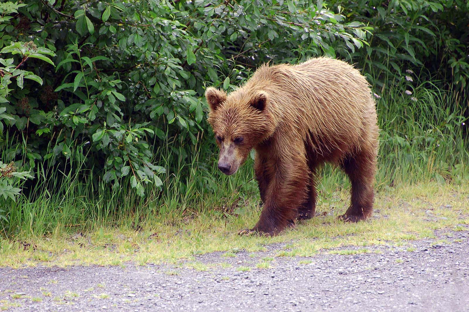 Grizzlybär,  Allison Point Campground