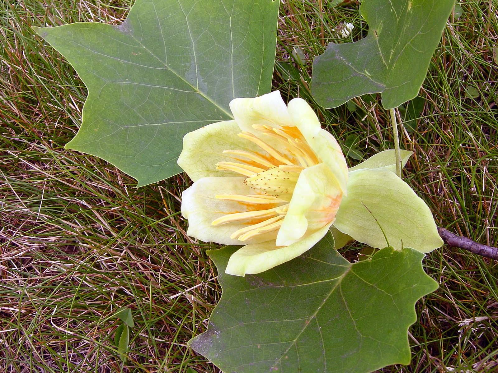 Tulp Tree