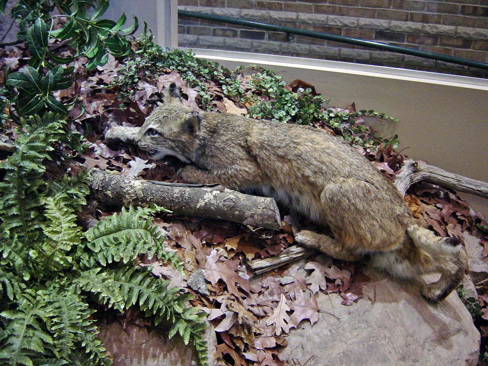 Bobcat - Rotluchs