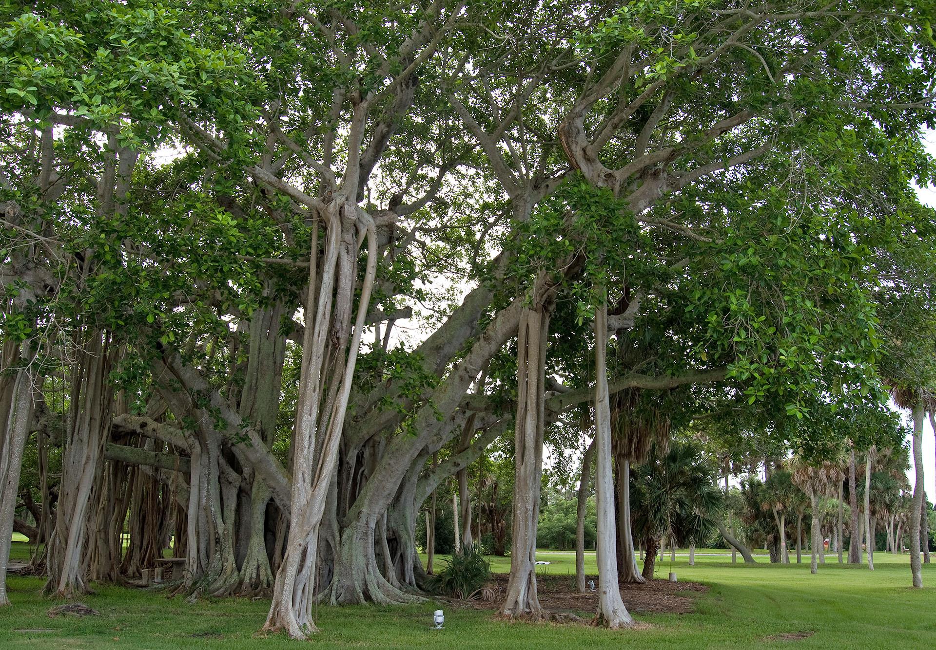 Banyan im Park des Ringling Museums, Sarasota