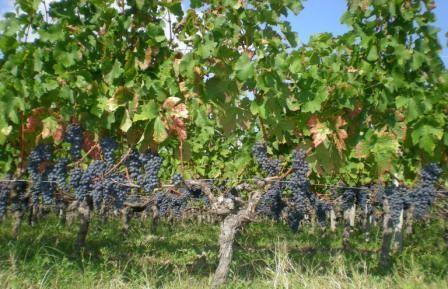 Des raisins gorgés de soleil