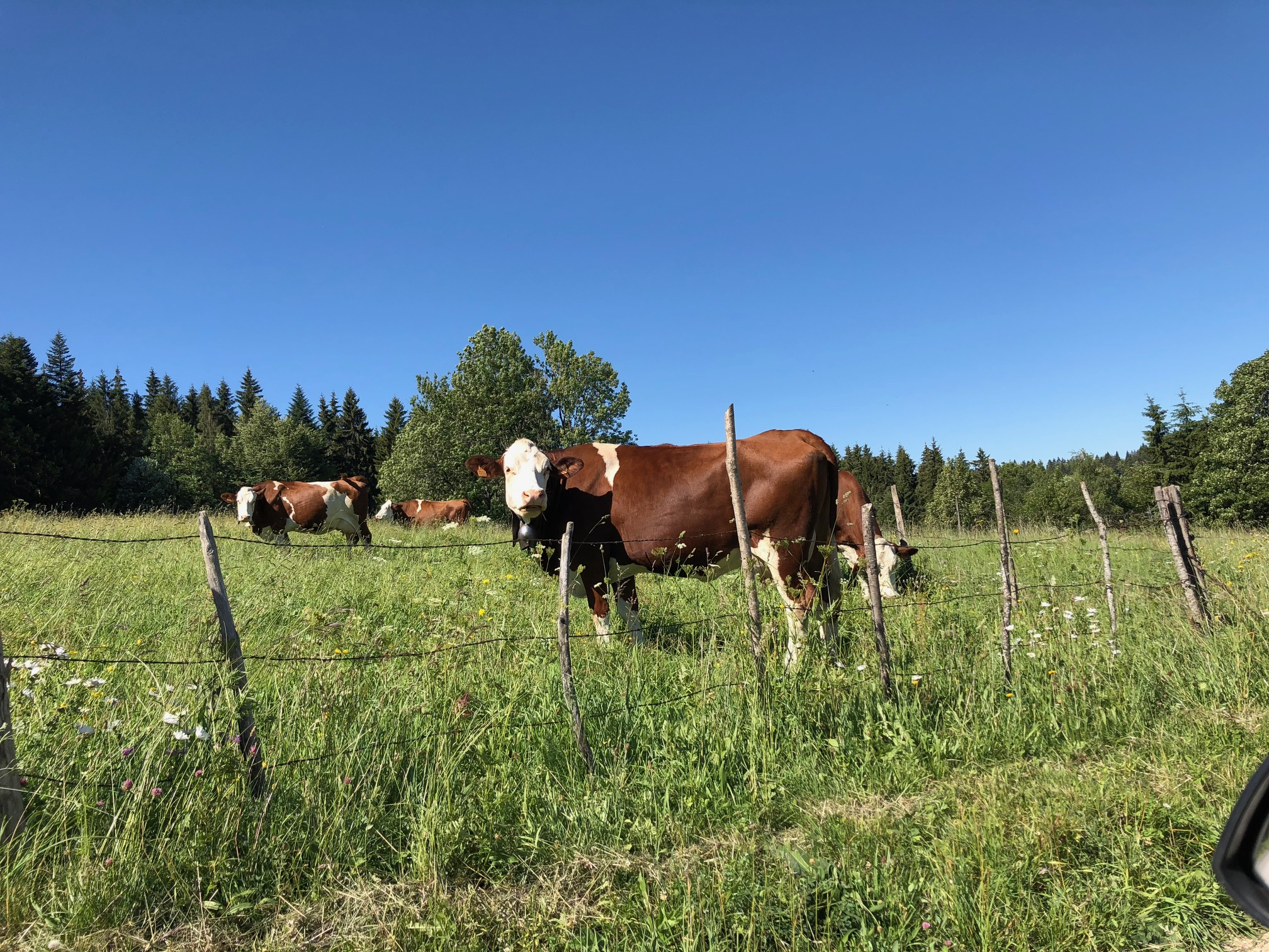 Vaches Montbéliardes
