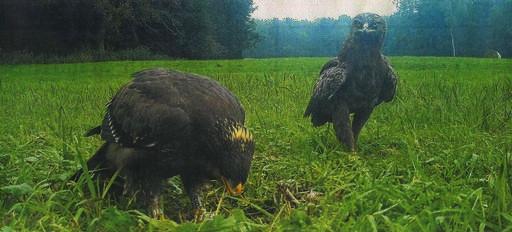 Jungen Seeadler (links) aus der Buchheide und sein Vater