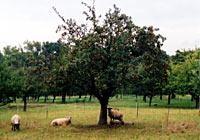 Schafe zum Kleinhalten des Unterwuchses im Sortenschaugarten