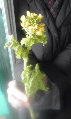 農家のお客様にいただいた 菜の花