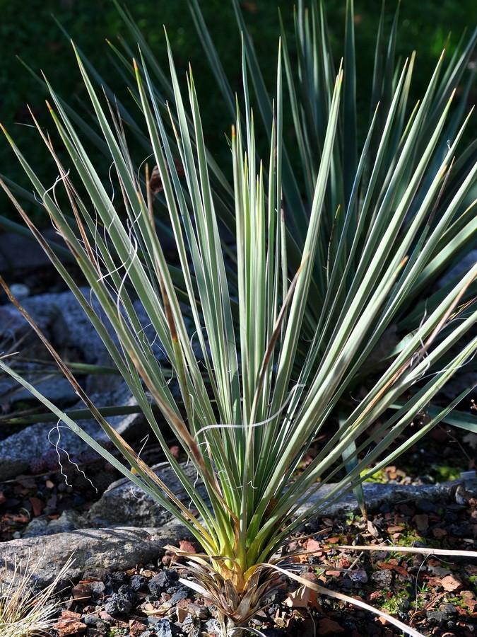 Yucca glauca HK 1660 Jemez, Sandoval Co., Mew Mexico