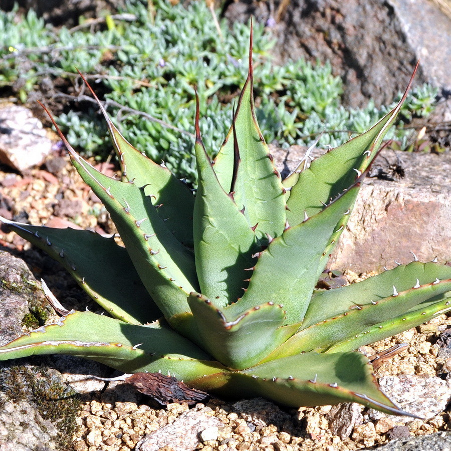 Agave gracilipes Guadalupe Mts.