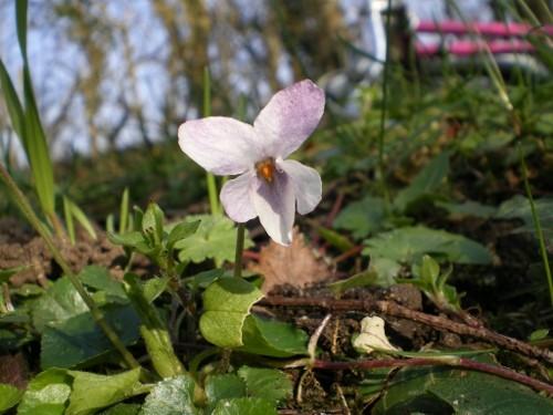 Violette odorante blanche