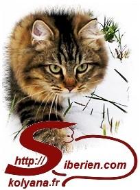 Chatterie KOLYANA élevage chats sibériens