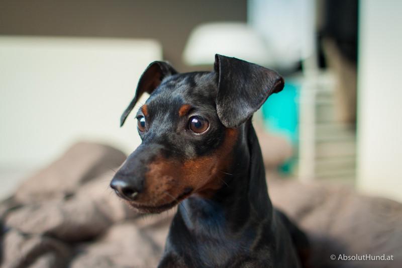 Hund, Zwergpinscher schwarz braun - AbsolutHund.at