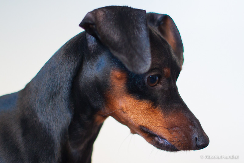 Der Mensch im Hund - AbsolutHund.at