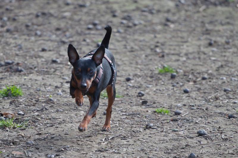 Coco, Zweigpinscher, Hund