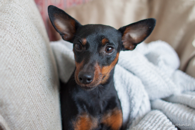 Coco Wecker - AbsolutHund.at Hund Zwergpinscher