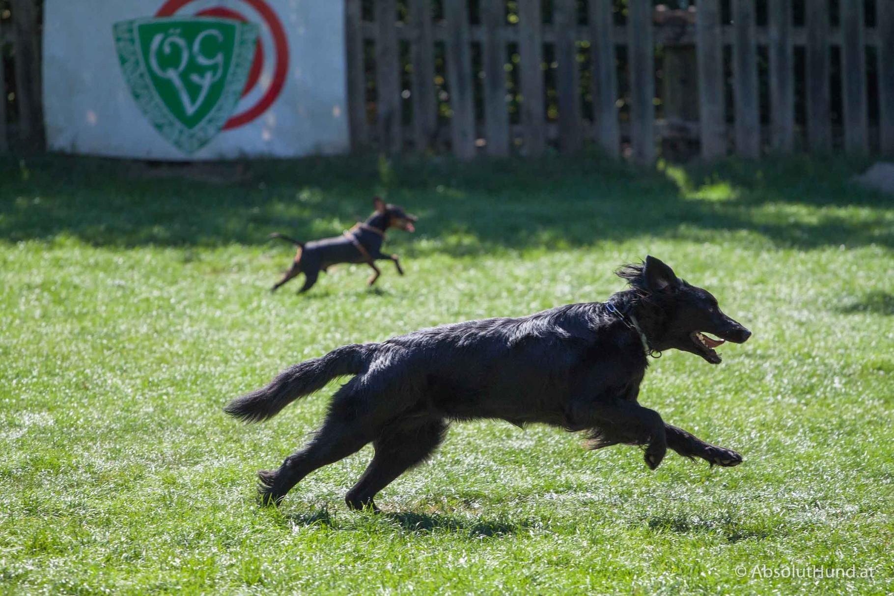 Pollux (hinten) beim Rennen.