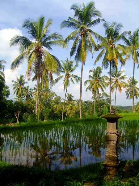 Kokospalmen spiegeln sich in Reisfeld