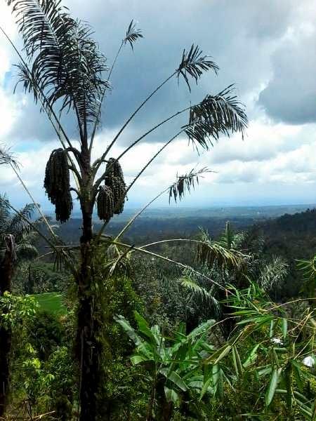 Eine Arenga-palme mit Blick nach Norden