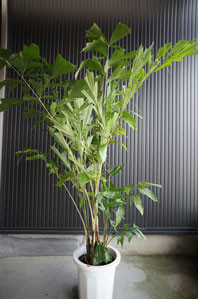 開店・移転・オープン・お祝い・観葉植物・ インテリアグリーン クジャクヤシ クジャクのように葉が広がります 葉の形もクジャクの羽のような優美なヤシです