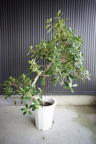 開店・移転・オープン・お祝い・観葉植物・ インテリアグリーン ガジュマル 幹の途中から気根という根を出しその独特の姿で人気のある観葉植物です