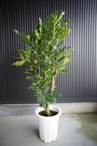 開店・移転・オープン・お祝い・観葉植物・ インテリアグリーン ステノカーパス ヤマモガシ科・ステノカルプス属
