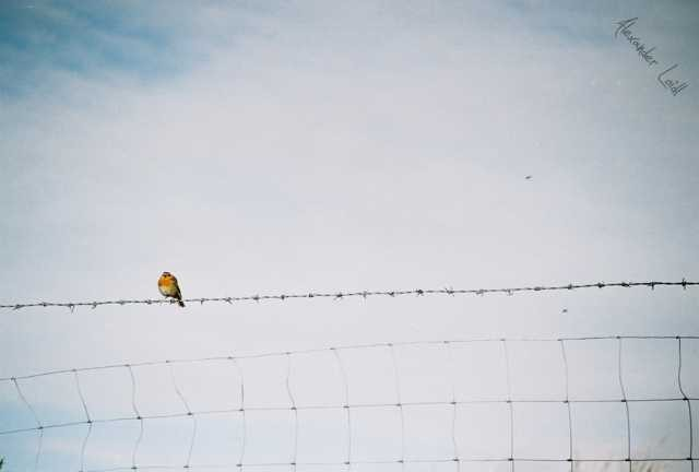 Sitting bird on a barbed wire (1)
