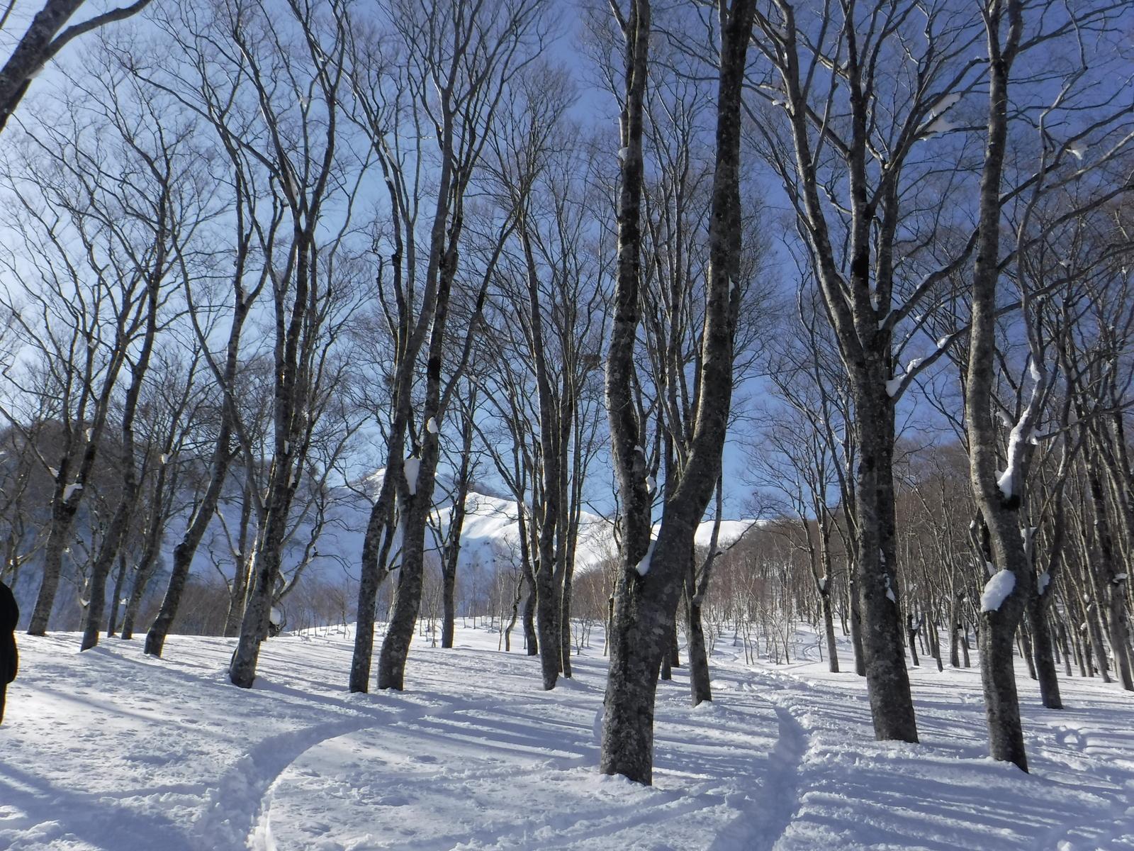 ブナ林に入ると、重い雪になってしまった。