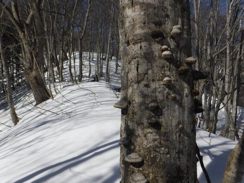 倒木に生えたサルの腰掛?