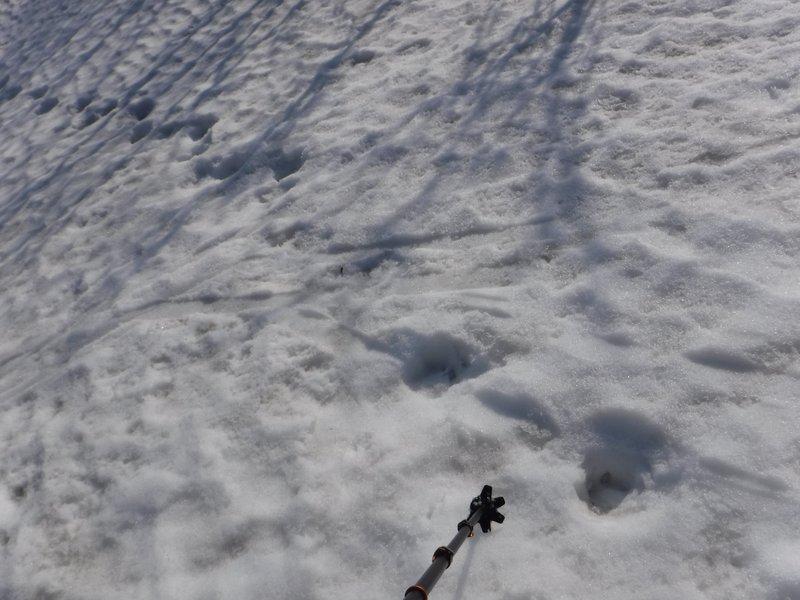 クマ?の足跡