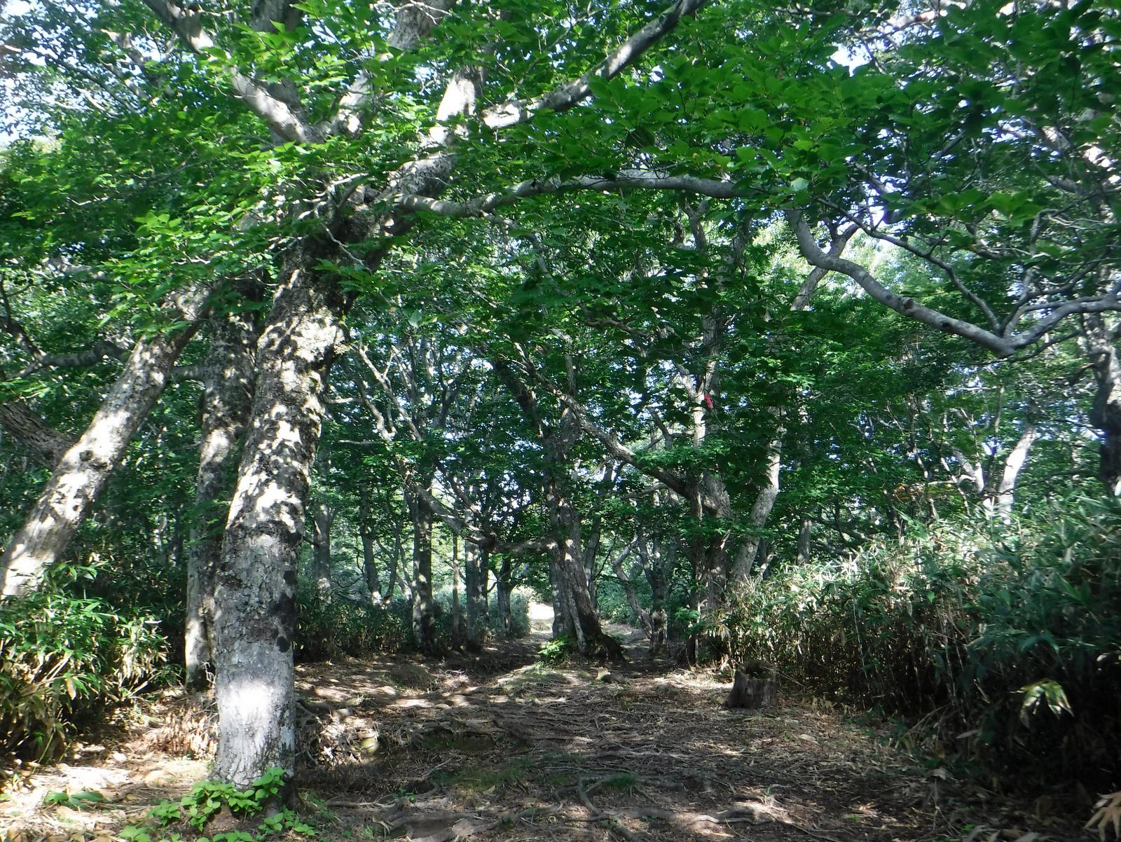 美しい樹林が続く中の大倉尾根