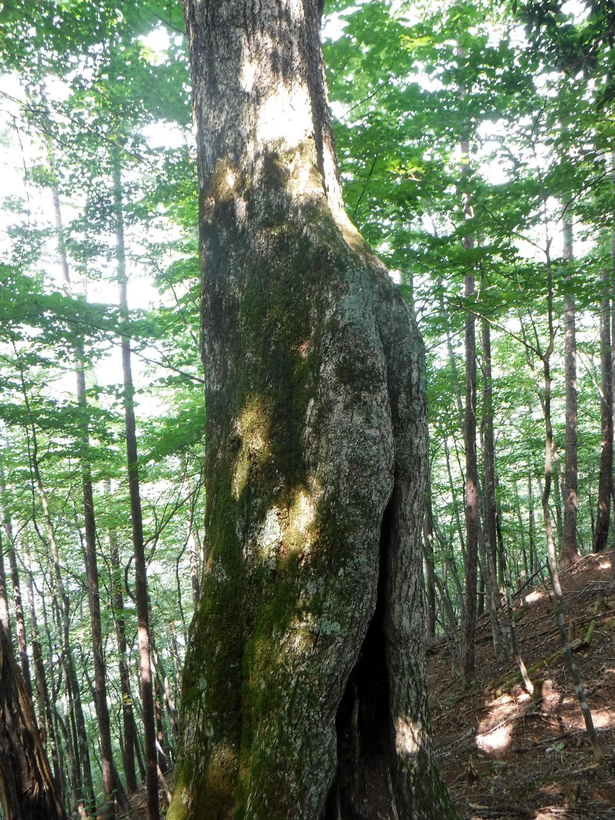 美しい樹形のブナ?