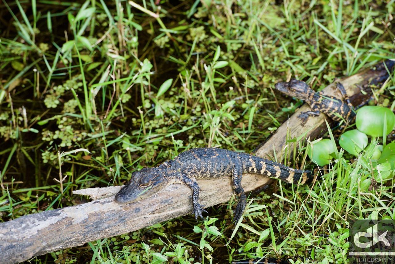 Junge Alligatoren inmitten der Sümpfe