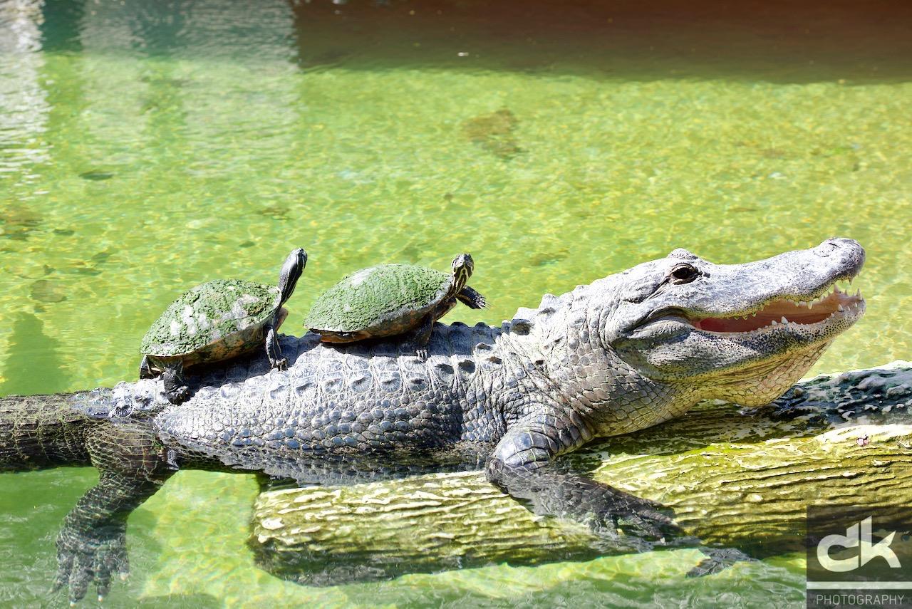 ....hach, ist das gemütlich auf diesem Alligator...