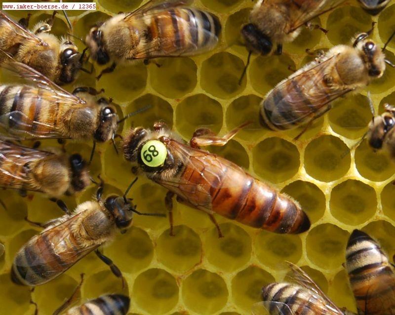 Пенис трутня остается в пчелиной матке