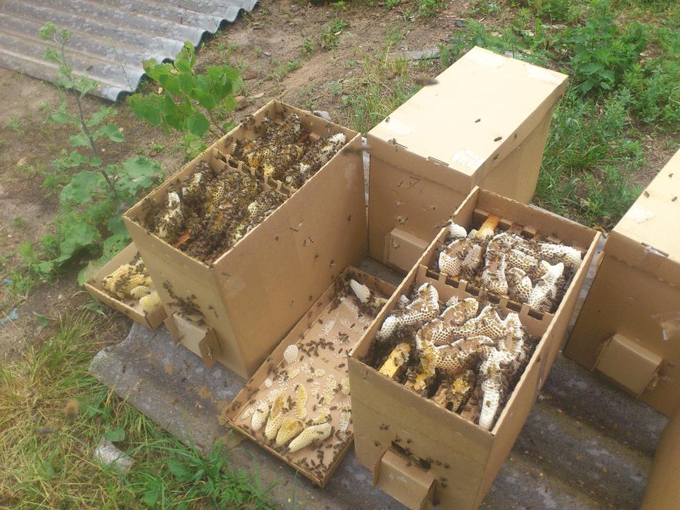 Пчелопакеты Карника (слева) и Бакфаст (справа) через неделю после формирования