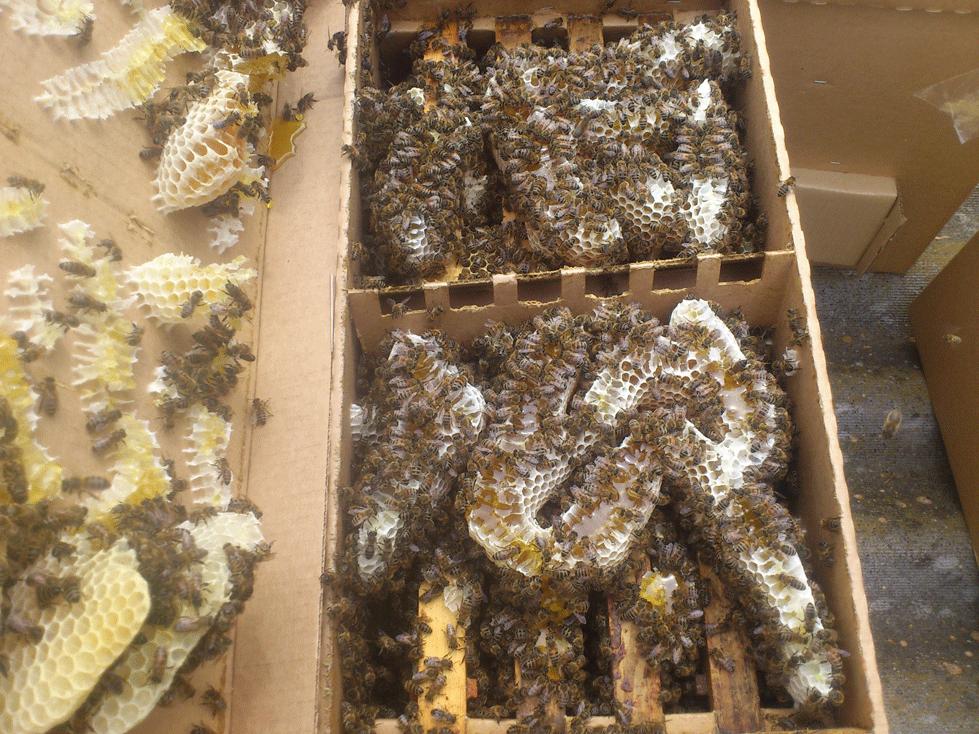 Пчелопакет Бакфаст через неделю после формирования